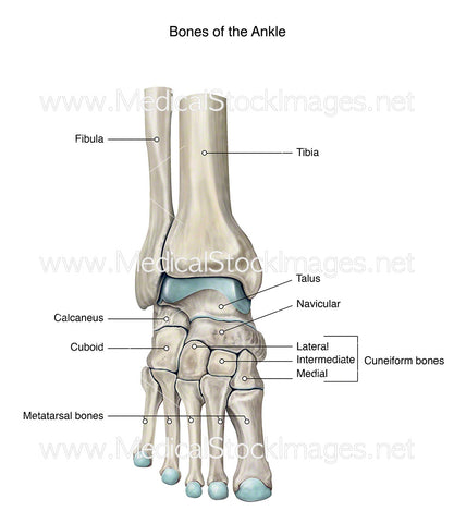 Bones of the Ankle