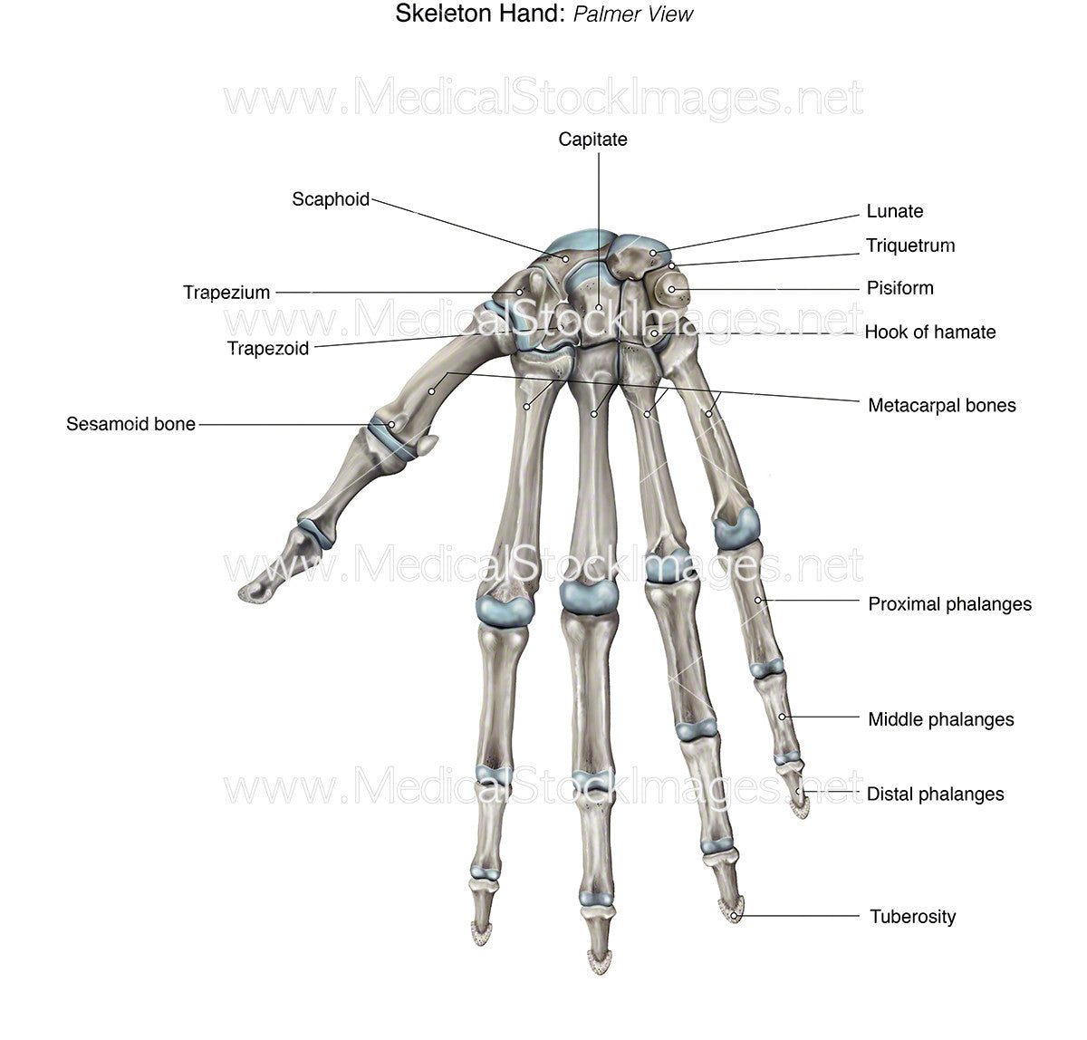 Skeleton Hand – Medical Stock Images Company