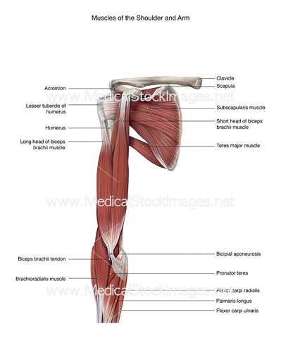 Shoulder and Arm Muscles