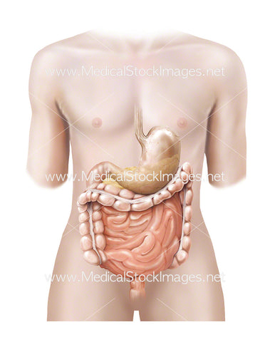 Androgynous Figure with Stomach, Pancreas and Bowel