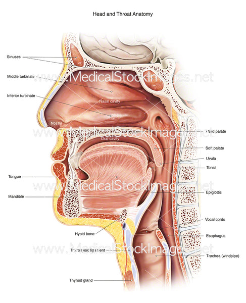 Head And Throat Anatomy Medical Stock Images Company