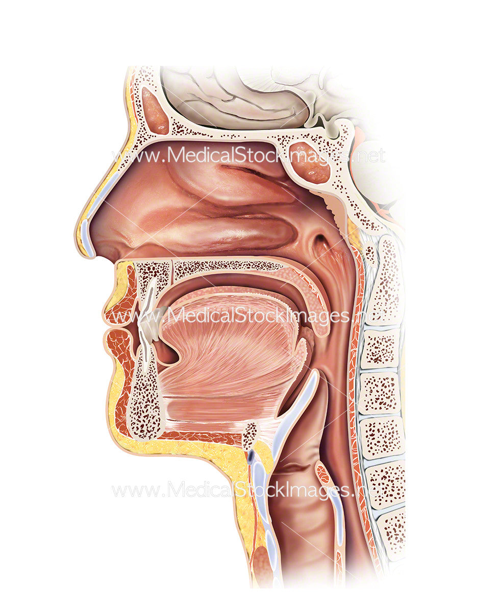 Head and Throat Anatomy – Medical Stock Images Company