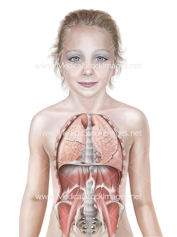 Child with Lungs and Muscles of Trunk Wall