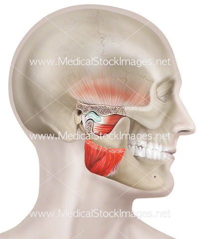 Temporomandibular Joint on Head