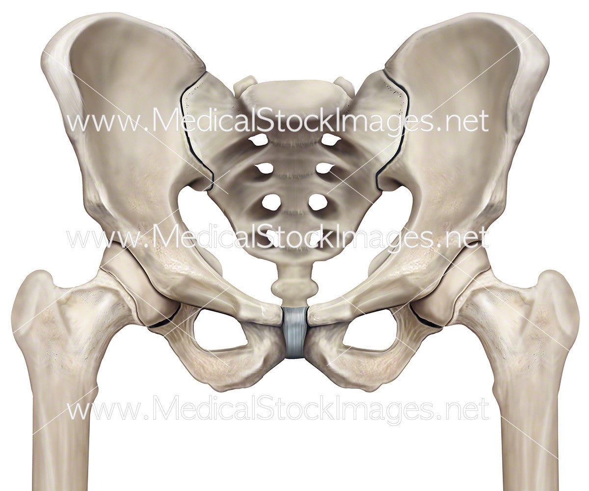 Pelvis and Femur Hip Joints – Medical Stock Images Company