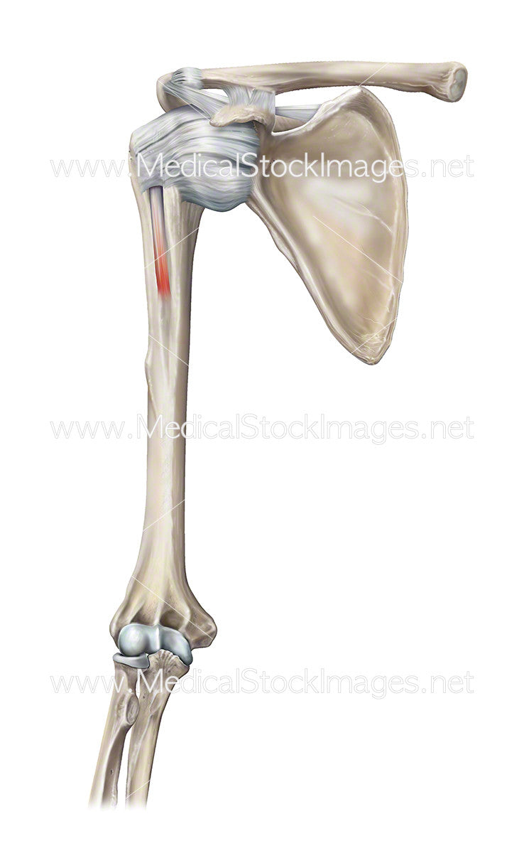 Glenohumeral Joint – Medical Stock Images Company