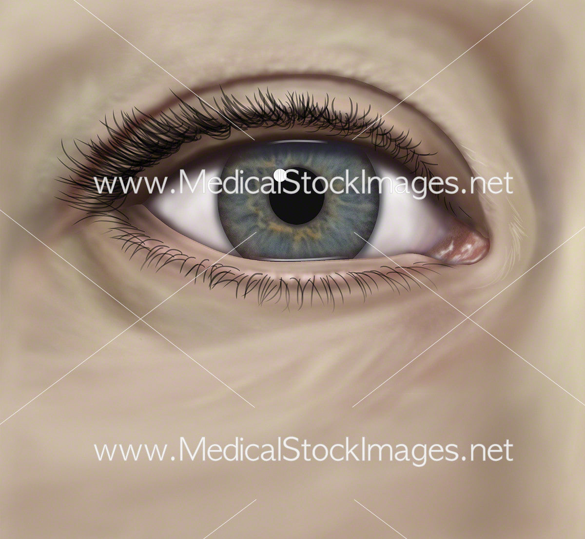 Surface Anatomy of the Eye – Medical Stock Images Company