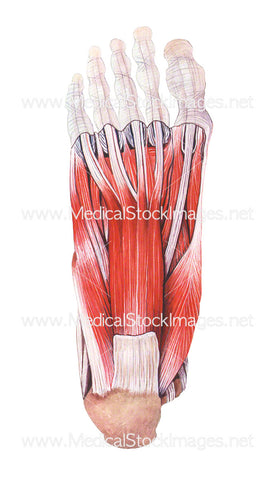 Plantar Aspect of the Foot with Superficial Muscles