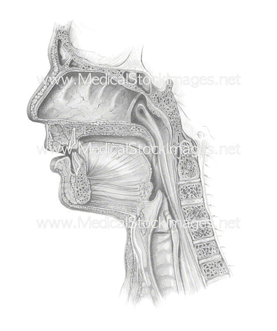 Airway Sagittal Section