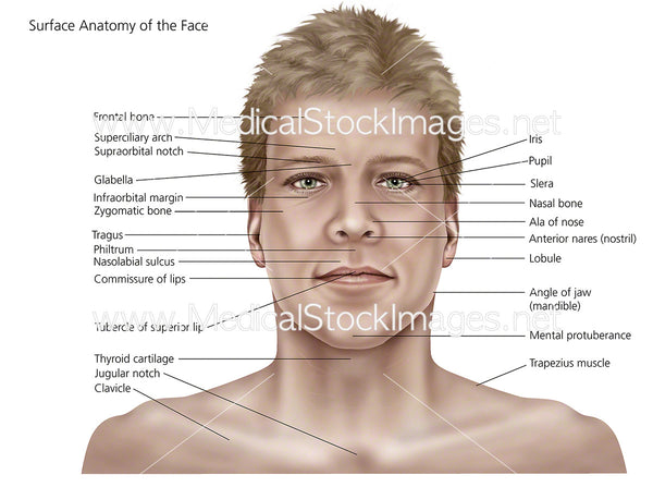 Surface Anatomy Of The Face And Skin  U2013 Medical Stock
