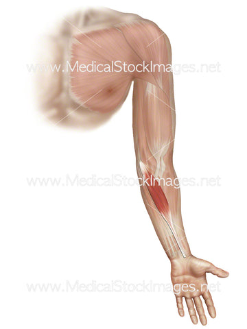 Flexor Carpi Radialis Muscle