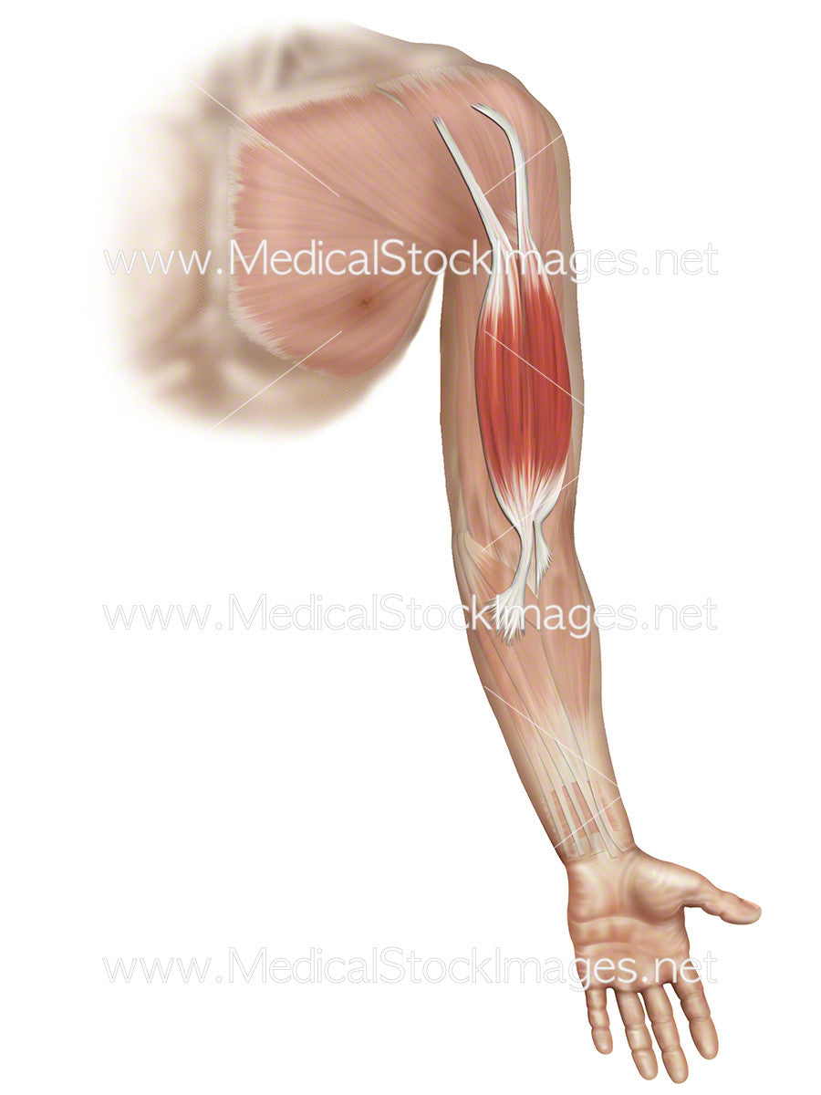 Biceps Brachii – Medical Stock Images Company