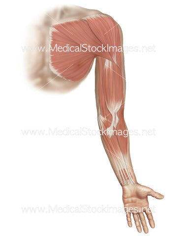Superficial Muscles on Arm