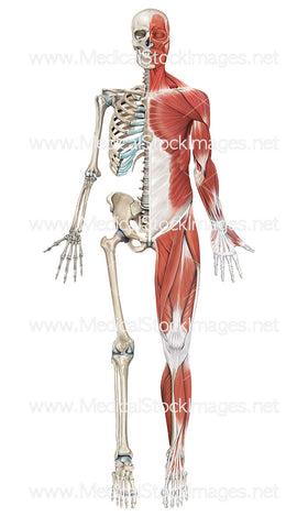 Skeleton with Superficial Muscles