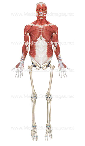 Skeleton with Upper Half Showing Superficial Muscle