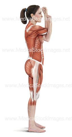 Across Chest Shoulder Stretch Muscle Highlighted