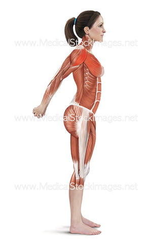 Double Arm Stretch with Muscles Highlighted