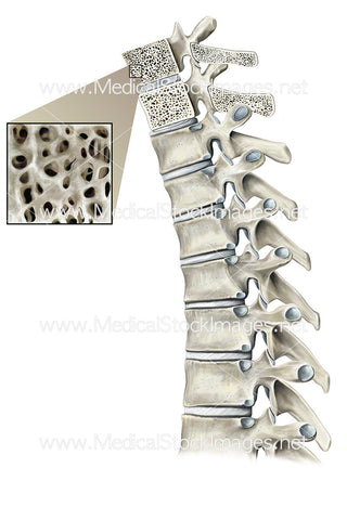 Internal Structure of the Thoracic Spine