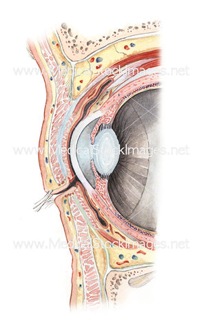 Orbital Cavity of the Eye (Sagittal View)
