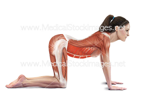 Cow Stretch with Muscles Highlighted