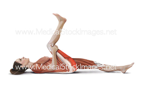 Lying Hamstring Stretch with Muscles Highlighted