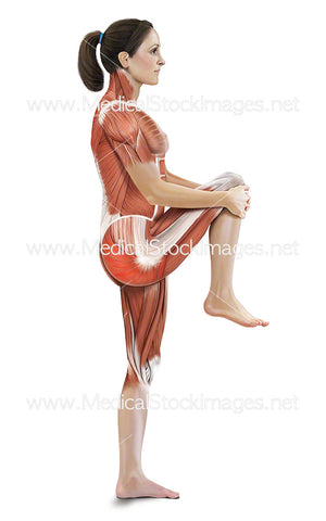 Standing Knee-to-chest Stretch with Muscles Highlighted