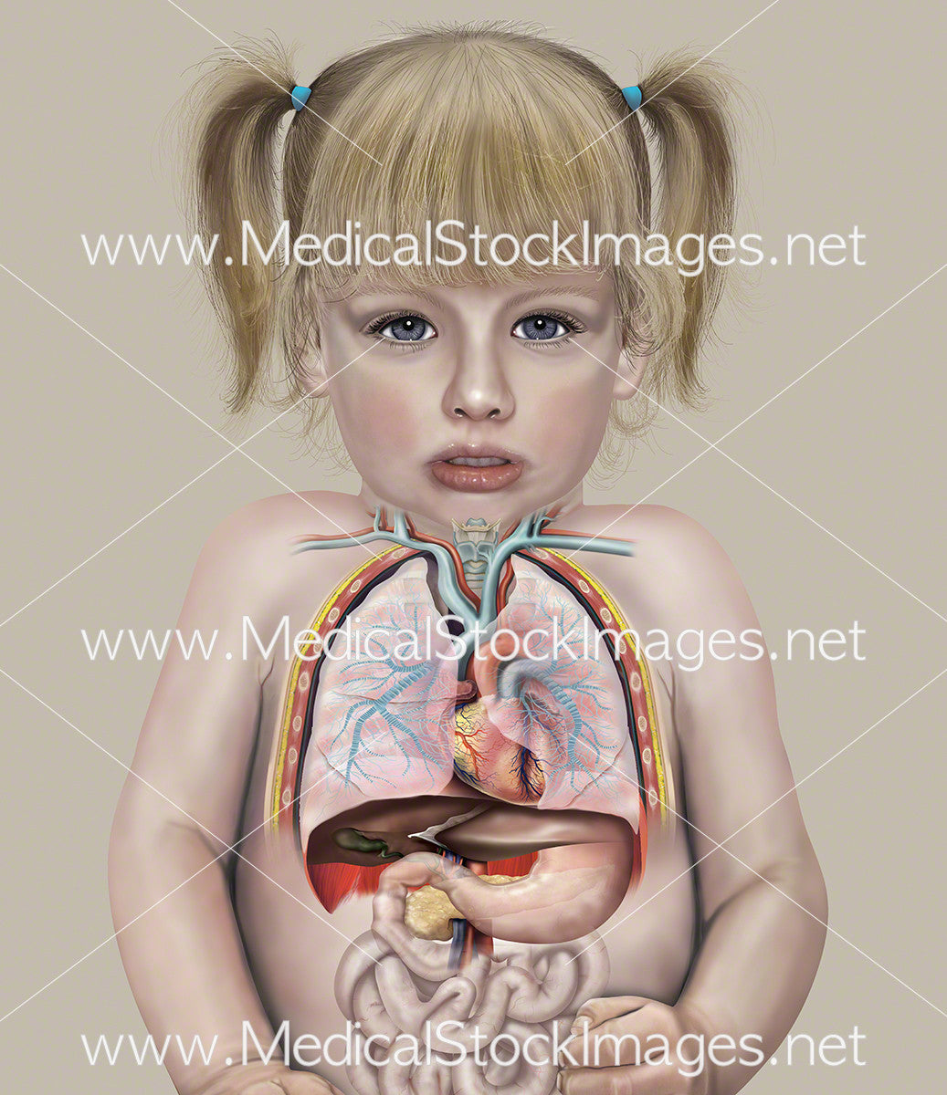 Chest and Abdominal Anatomy of a Child (2 years old) – Medical Stock ...