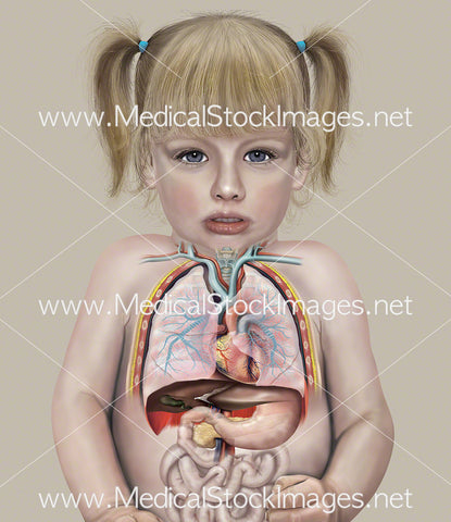 Chest and Abdominal Anatomy of a Child (2 years old)