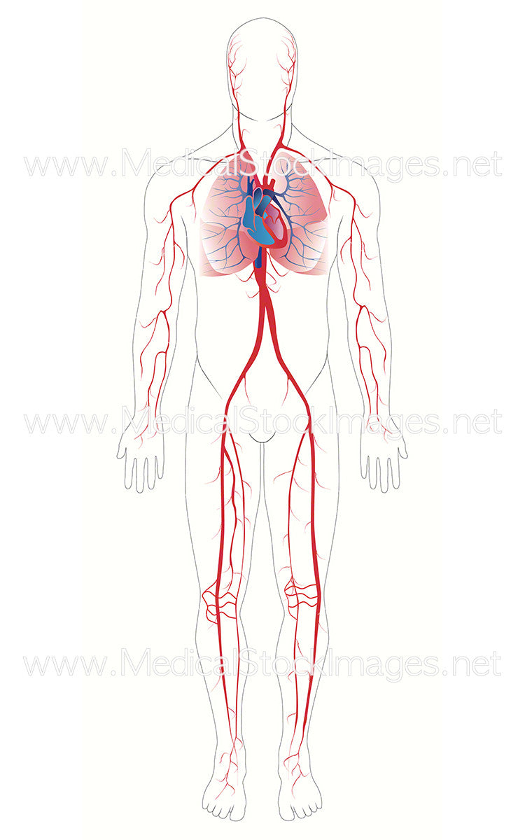 Arterial System Medical Stock Images Company