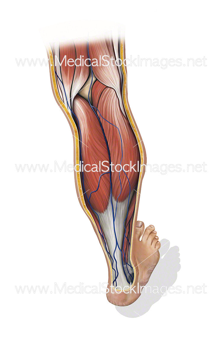 Calf Showing Venous Return Flow When Contracted – Medical Stock ...