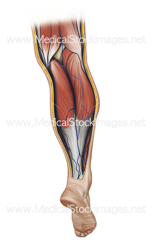 Calf Pump Showing Venous Return Flow When Relaxed