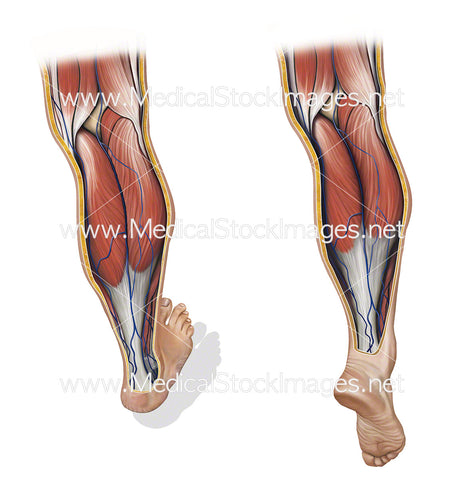 Venous Flow with Calf Pump Relaxed and Contracted