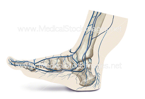 Plantar Plexus Venous Pump when Walking with Heel Down