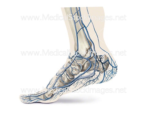 Plantar Plexus Venous Pump when Walking in Toe Off Position