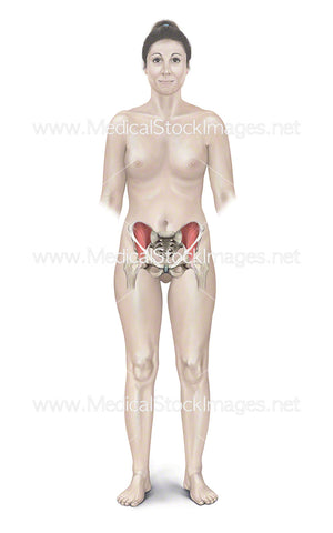 Female Figure with Pelvis, Iliacus and Inguinal Ligament