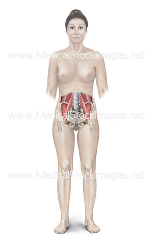 Female Figure Showing Muscles of the Pelvis