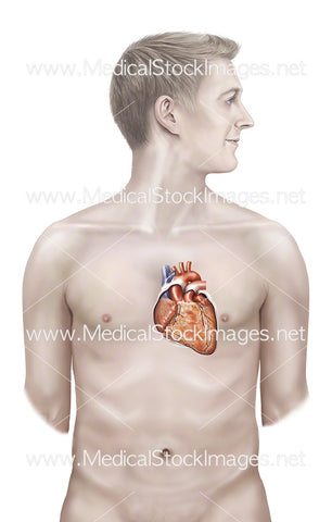 Male Figure Showing Heart Sternocostal Surface