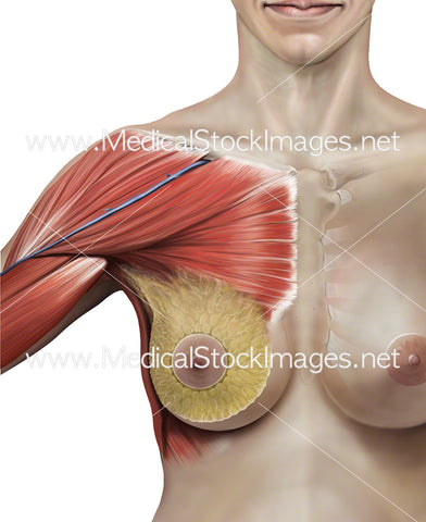 Breast and Chest Anatomy