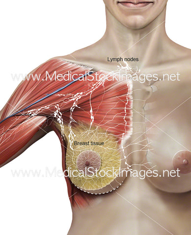 Relevant Lymph Node Anatomy During Total Mastectomy Surgery (with some labels)