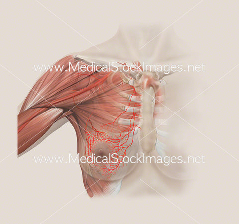 Anatomy of the Axillary Arteries of the Breast