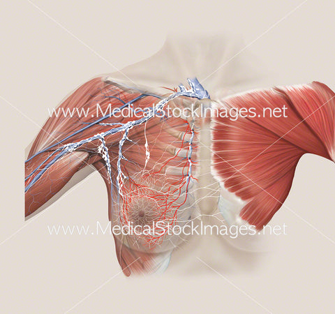 Arterial and Lymphatic Anatomy of Breast with Pectoralis Muscle