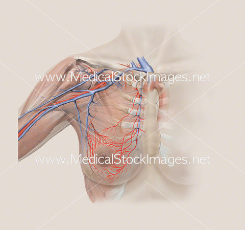 Arterial and Skeletal Anatomy of Breast Region