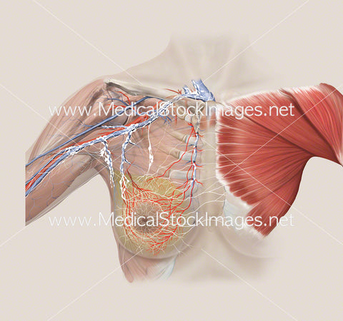 Arterial and Lymphatic Anatomy of Breast