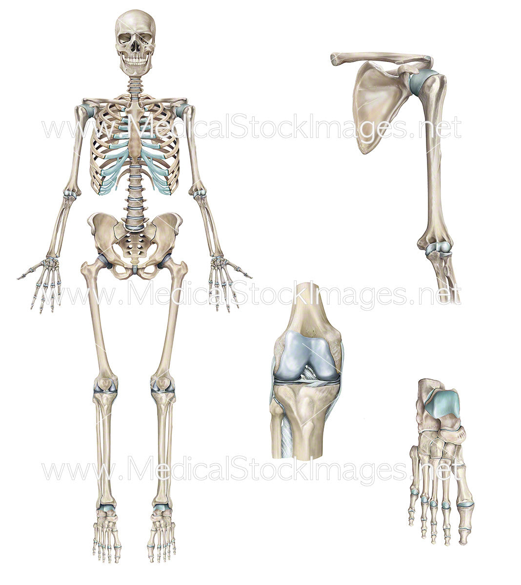 Full Skeleton with Shoulder, Knee and Foot in Detail – Medical Stock ...