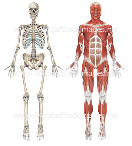 Full Skeleton and Full Superficial Muscle Anatomy
