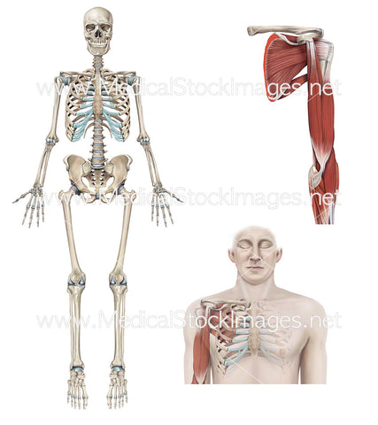 Full Skeleton with Muscle Anatomy of Shoulder and Arm