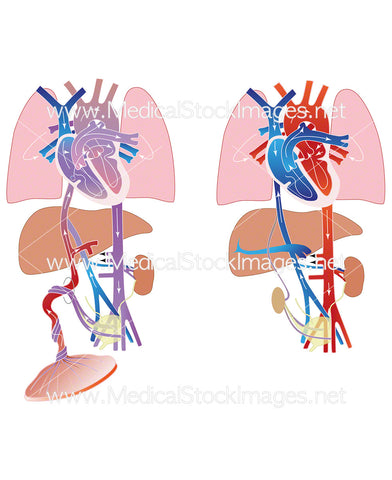 Fetal and Neonatal Circulatory System