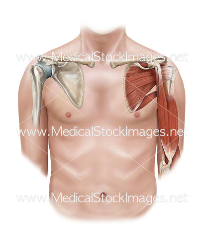 Shoulder and Upper Arm Bony and Muscular Anatomy