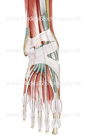 Muscles and Tendons of the Foot in Dorsal View