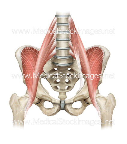 Hip Flexor Muscles and the Pelvis